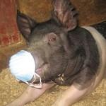 svineinfluensa